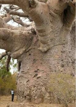 The baobab tree. man this thing is huge!: Baobab Trees, Nature, Amazing Trees, Places, Africa, Tree Of Life