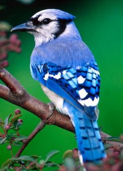 The Blue Jay is resident through most of eastern and central United States and southern Canada, although western populations may be migratory. It breeds in both deciduous and coniferous forests, and is common near and in residential areas.: Animals, Natur