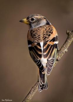the brambling, a beautiful little bird around the same size as the finch family by Ian Robinson - Pixdaus: Finch Family, Family Fringillidae, Small Passerine, Beautiful Birds, Animal