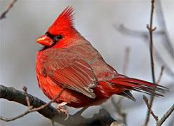 The Cornell Lab of Ornithology web page is full with information and bird sounds that will help you identify them.: Animals, Cardinal Birds, Birdie, Cardinals Birds, Beautiful, Backyard Birds