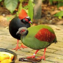 The Crested Partridge (Rollulus rouloul) also known as the Crested Wood Partridge, Roul-roul, Red-crowned Wood Partridge, Green Wood Quail or Green Wood Partridge is a gamebird in the pheasant family Phasianidae of the order Galliformes, gallinaceous bird
