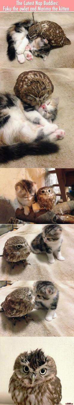 The Cutest Nap Buddies: Owls And Cats, Cutest Nap, Funny Pictures, Adorable Kittens, Baby Owls, Nap Buddies, Animal Friendships, Napping Buddies So