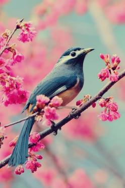The dreamy blue of the bird accentuated by the vibrant pink of the flowers. Gorgeous.: Animals, Nature, Color, Pink, Beautiful Birds, Photo, Flower