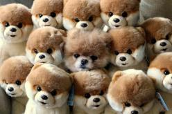 The fateful day when Boo the pomeranian hid inside a pile of Boos and then fell asleep. | The 50 Cutest Things That Ever Happened: Real, Animals, Dogs, Boo, Pet, Funny, Puppy, Pomeranian