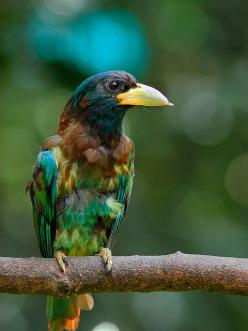 The Great Barbet (Megalaima virens) is an Asian barbet. Barbets are a group of near passerine birds with a worldwide tropical distribution. They get their name from the bristles which fringe their heavy bills. The Great Barbet is a resident breeder in the