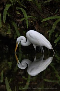 The Great Egret is a symbol of ritual, when you see one, let it remind you the importance of our daily rituals in life. Copyright - Charles Glatzer. With written permission from Mr. Glatzer.: Nature, Charles Glatzer, Egret Reflection, Beautiful Birds, Pho