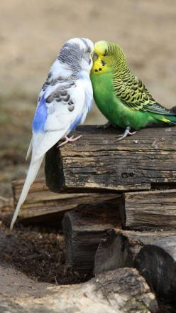 The green budgie shows some pale marks, looks like dustiness, on his beak and cere.  This could jsut be dirt but it is also very much like what Scaley Face mites cause before the real damage is done.: Colorful Birds, Animals, Birds Sitting, Poultry, Budgi