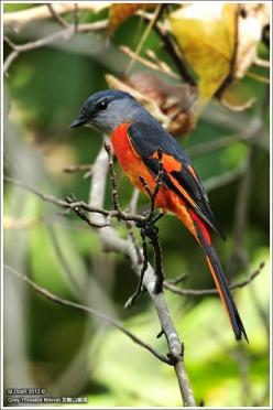 The Grey-chinned Minivet (Pericrocotus solaris) is a species of bird in the Campephagidae family. It is found in Bangladesh, Bhutan, Cambodia, China, India, Indonesia, Laos, Malaysia, Myanmar, Nepal, Taiwan, Thailand, and Vietnam. Its natural habitat is s