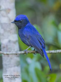 The Large Niltava (Niltava grandis) is a species of bird in the Muscicapidae family. It is found in Bangladesh, Bhutan, Cambodia, China, India, Indonesia, Laos, Malaysia, Myanmar, Nepal, Thailand,and Vietnam. Its natural habitat is subtropical or tropical