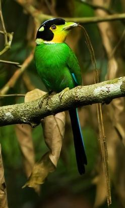 The Long-tailed Broadbill, Psarisomus Dalhousiae, is a species of Broadbill that is found in the Himalayas, S. E. Asia & Indonesia. It's the only bird in the genus, Psarisomus. The Long-tailed Broadbill is a forest bird that lives on insects. It&#