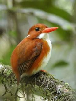 The Madagascar Pygmy Kingfisher (Corythornis madagascariensis) is a species of bird in the Alcedinidae family. It is endemic to Madagascar and found in western dry deciduous forests.: Aviary, Poultry, Birdie, Pygmy Kingfisher, Beautiful Birds, Madagascar