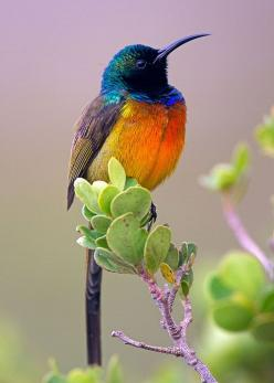 The Orange-breasted Sunbird, Anthobaphes Violacea, is the only member of the bird genus Anthobaphes although it is sometimes placed in the genus Nectarinia. This sunbird is endemic to the fynbos habitat of southwestern South Africa, but also occurs in par