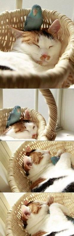 The Parrotlet & the Cat: Cats, Animals, Sweet, Stuff, Pets, Napping Buddies, Uncommon Friendship, Kitty, Birds