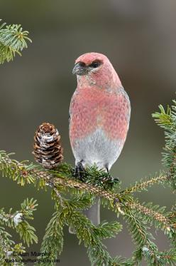 The Pine Grosbeak (Pinicola enucleator) is a large member of the true finch family, Fringillidae. It is found in coniferous woods across Alaska, the western mountains of the United States, Canada, and in subarctic Fennoscandia and Siberia: Birds Birds, Pi
