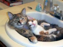 The Purrfect Life <3: Cats, Animals, Kitten, Sweet, Pet, Funny, Sink, Kitty