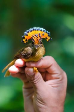 The Royal Flycatcher (Onychorhynchus coronatus) displays its impressive crest only rarely, while preening, during courtship, and after mating.: Royalflycatcher, Animals, Rare Animal, Royals, Beautiful Birds, Ave, Amazonian Royal