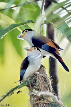 The Silver-breasted Broadbill (Serilophus lunatus) is a species of bird in the broadbill family Eurylaimidae. It is monotypic (the only species) within the genus Serilophus. It is found in Bangladesh, Bhutan, Cambodia, China, India, Indonesia, Laos, Malay