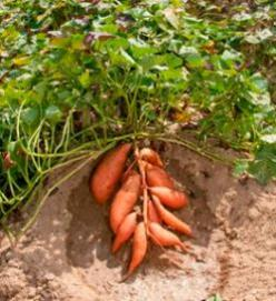 The Sweet Potato - All about the Sweet Potato - Even new recipes and how to grow.: Recipe, Sweets, Food, Growing Sweet Potatoes, Outdoor, Vegetable Garden