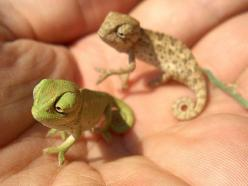 The teensiest, cutest little chameleons ever.  These can't be real!: Baby Chameleons, Babies, Nature, Creature, So Cute, Pets, Baby Animals, Reptile