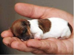 The tiny Jack Russell Chihuahua-cross, aptly named Miracle, is the only one in a litter of five to survive.: Animals, Jack Russell, Dogs, Pet, Jack O'Connell, Puppys, Baby, Chihuahua, Jackrussell