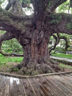 """The Treaty Oak is a field live oak (quercus virginiana) that is the oldest living thing in Jacksonville. It's called """"Treaty Oak"""" because way back in the 1930's a journalist wrote a story claiming that a treaty between the native Floridians and the Spanis"""