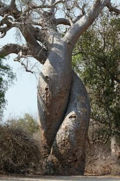 The tree of love, also called tree of life, is in fact the union of two different trees, the fig and Hasina. You must know that the fig tree is a strangler fig tree: a tree that had a lot of water tends to be a parasite on other plants close to him. Usual
