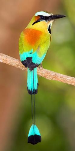 The Turquoise-Browed Motmot inhabits Central America from SE Mexico (mostly the Yucatán Peninsula) to Costa Rica, where it is common and not considered threatened. It lives in fairly open habitats such as forest edge, gallery forest and scrubland. Its cal