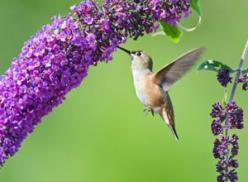 The Ultimate Dining Guide for Hummingbirds - Plants that attract hummingbirds (and butterflies, bees): Butterfly Bush, Bees Hummingbirds, Humming Birds, Butterfly Garden, Attracting Hummingbirds, Butterfly Hummingbird