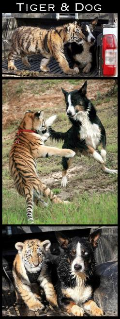these animals were blind to prejudice... | The 30 Most Inspiring Interspecies Friendships Of The Year: Animals, Border Collie, Dogs, Dog Animalfriends, Tigers, Unusual Animal Friendships, Special Friendships