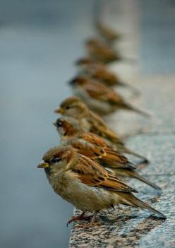 These birds look like sparrows. I suspect this is a great example of trick photography.: Animals, House Sparrows, Nature, Birdie, Photo, Birds