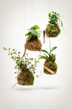 """These vining  string gardens feature our take on the Japanese kokedama -- a type of bonsai that is growing ever popular. Kokedama simply translated is """"moss ball."""" Shipping from http://shop.pistilsnursery.com/products/vining-string-garden: Vining String,"""