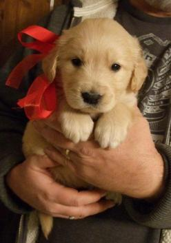They're the best kind of holiday gift you can get. | 15 Reasons Why Golden Retrievers Are The Best Dogs Ever: Holiday Gift, Dogs, Golden Retrievers, Christmas Presents, Puppys, Golden Retriever Puppies, Animal