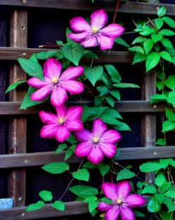 They are cheap and grow on anything - add more clematis when you can!: Outdoor, Garden Flowers, Pink Clematis, Garden Backyard, Clematis Gardens, Plants Garden