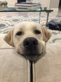 They have a begging face that really NO ONE can resist. | 27 Reasons Labradors Are The Best Creatures In The Galaxy: Labrador Retriever, Reasons Labradors, Begging Face, 27 Reasons
