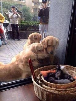They just want to be friends!: Cats, Animals, Dogs, Golden Retrievers, Pet, Funny, Puppy, Kittens
