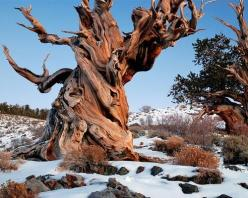 This bristlecone pine is 4,841 years old, awesome!: Nature, California, Trees, Year, Forest, White Mountains, Bristlecone Pine