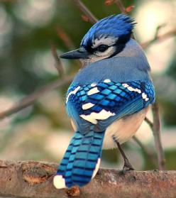 This common, large songbird is familiar to many people, with its perky crest; blue, white, and black plumage; and noisy calls. Blue Jays are known for their intelligence and complex social systems with tight family bonds. Their fondness for acorns is cred
