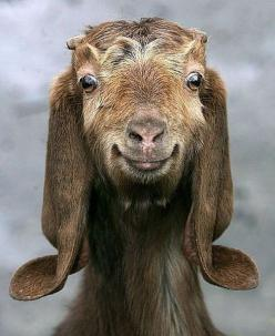 This goat just makes me happy: Goats, Face, Animals, Funny, Smile, Happy Goat, Happygoat, Smiling Goat