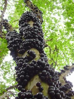 This is a Jaboticaba tree, native to Central and South America. The fruit grows out of the trunk! These grow in the Phoenix area, and they sell them at Tropica Mango.: Jaboticaba Tree, South America, Trees, Fruit Grows, Flower