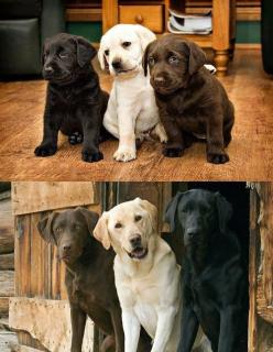 this is adorable: Labrador Retriever, Labs, Dogs, Best Friends, Pet, Puppy, Animal