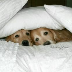 This is our bed-fort! Jamie, this is how adorable we look when we sleep in our forts  <3: Awwww How, Best Friends, Dogs, Golden Retrievers, Peek A Boos, Bed Fort Goldens, Sweet Goldens, Animal