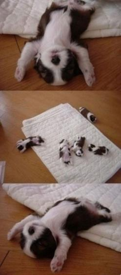 This little puppy is so stinkin' cute! You can't help but want to love all over that belly.: Border Collie, Dogs, So Cute, Pet, Puppys, Shih Tzu, Baby, Animal, Sleeping Puppies