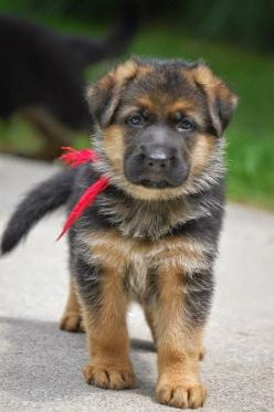 ~ THIS LOOKS LIKE A BEAUTIFUL GSD MIX BUT I COULD BE WRONG.  LOOK @ FEET, HE/SHE WILL BE A LARGE ADULT ~: Germanshepherd, German Shepards, Dogs, German Shepherd Puppies, German Shepherds, Gs Puppy, Animal, German Shephard