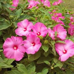 This Perennial Hibiscus will be one of the boldest plants in your garden. More no-fail perennials for the Midwest: http://www.bhg.com/gardening/gardening-by-region/midwest/types-of-midwestern-perennials/?socsrc=bhgpin082113hibiscus=9: Perennials, Plants,