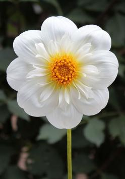 This Pin was discovered by Christina Polites. Discover (and save!) your own Pins on Pinterest. | See more about dahlias.: Dahlia Flowers, Flores Flowers, Tahoma Angie, Flowers Dahlias, Nature, Beautiful Flowers, Bloom, Angie Dahlia, Garden