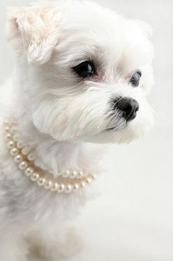 This pup is so refined and elegant; wouldn't be surprised if she laps up English tea from her doggie bowl. Lol: Doggie, Animals, Girl, Dogs, Maltese, Pearls, Pets, Puppys