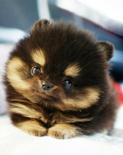 This super cute puppy is looking like a stuffed animal! :-) www.Tonys-Dog-Blog.com: Animals, Dogs, So Cute, Pet, Puppys, Puppy, Adorable, Pomeranian