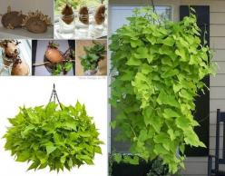 This Sweet Potato Vine plant is an easy gardening project for the kids.  #diy #planter: Sweetpotato, Ideas, Sweet Potato Vines, Sweets, Potatoes, Plants, Gardening