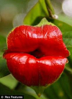 This unusual plant, appears to feature red lips, just like Rolling Stones front-man Mick Jagger. With a scientific name of Psychotria Elata, this species also goes by the fitting names of the Hot Lips Plant, Flower of Lips or even Hooker's Lips. The p