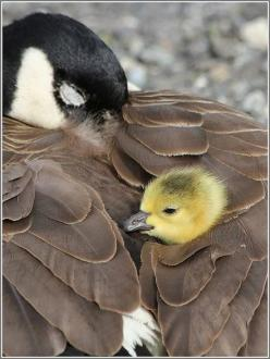 This was taken on Alki Beach in Seattle...So cute I cried a little when I saw it.: Animals, Mother, Canada Goose, Baby, Beautiful Birds, Winter Coats